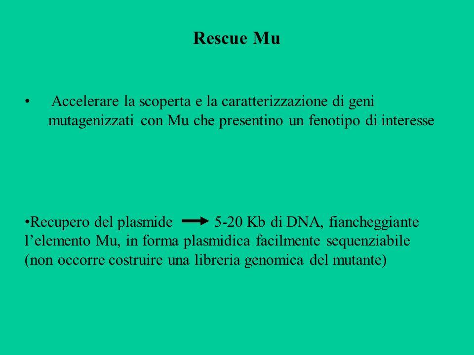 Rescue Mu Accelerare la scoperta e la caratterizzazione di geni mutagenizzati con Mu che presentino un fenotipo di interesse.
