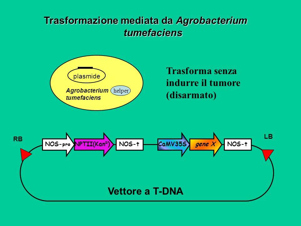 Trasformazione mediata da Agrobacterium tumefaciens