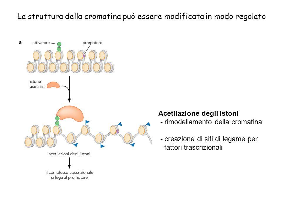 La struttura della cromatina può essere modificata in modo regolato