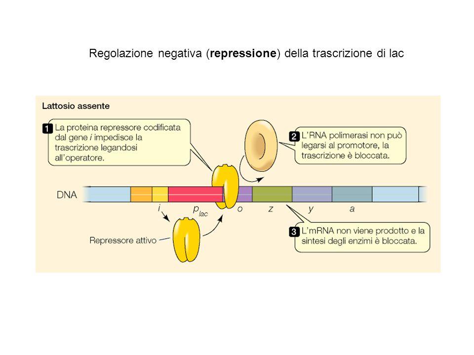 Regolazione negativa (repressione) della trascrizione di lac