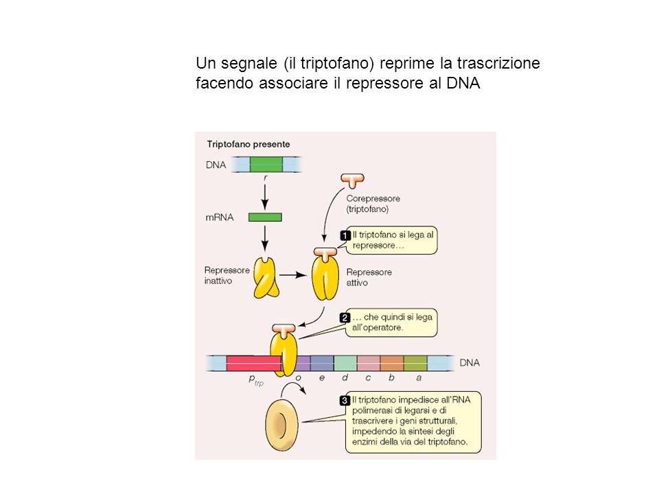 Un segnale (il triptofano) reprime la trascrizione