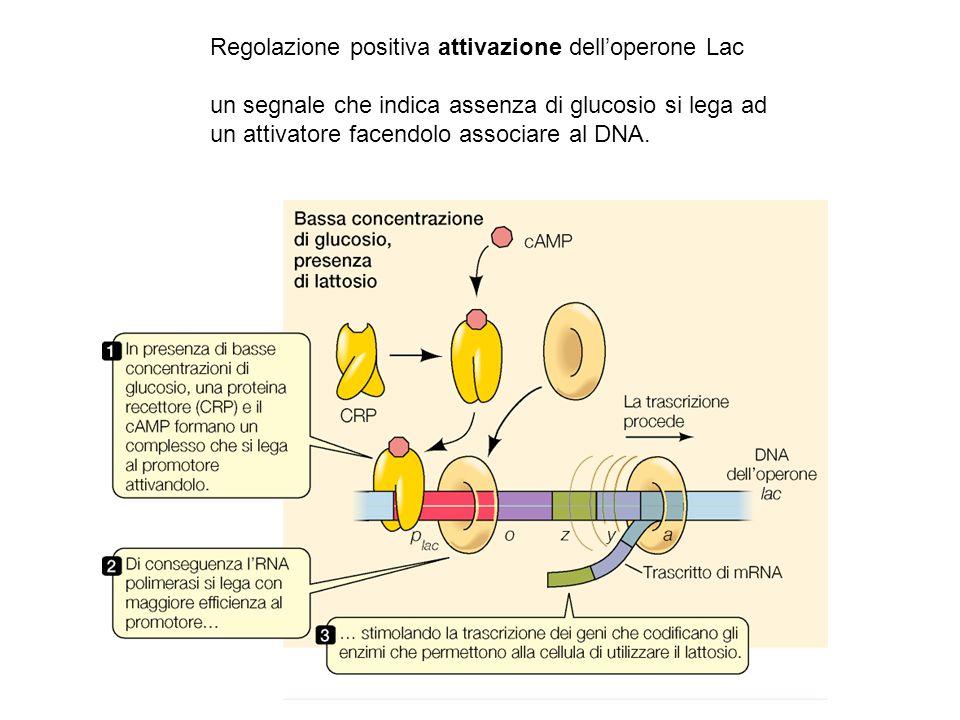 Regolazione positiva attivazione dell'operone Lac