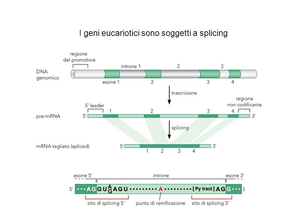 I geni eucariotici sono soggetti a splicing
