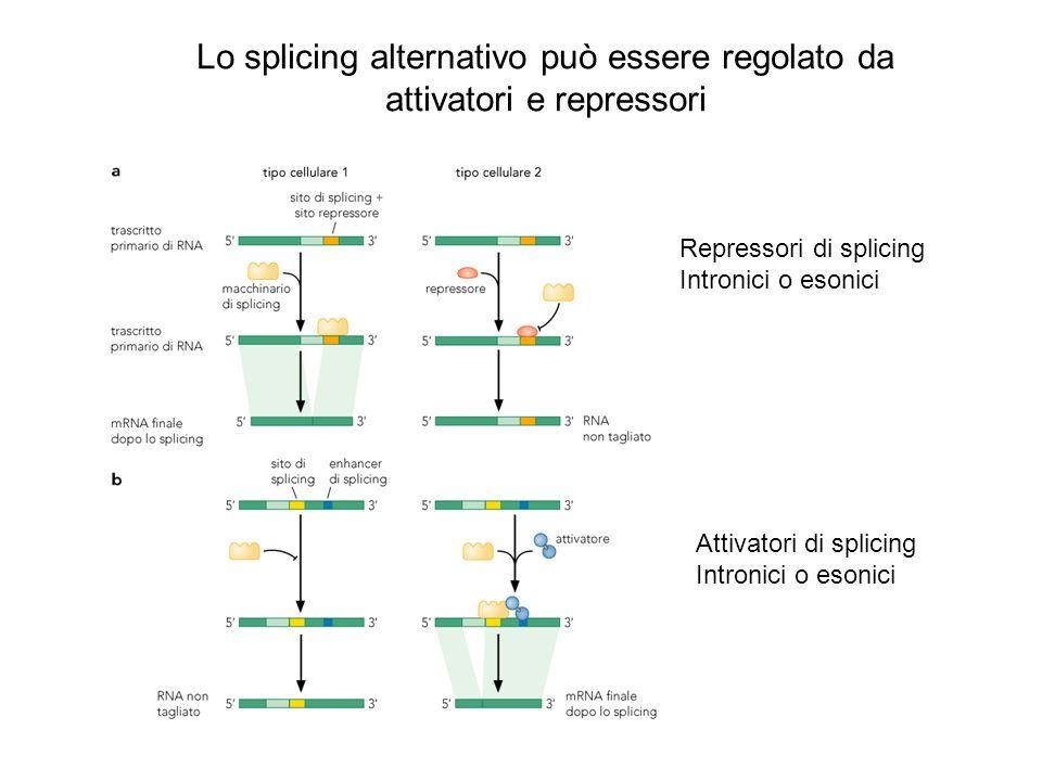 Lo splicing alternativo può essere regolato da attivatori e repressori