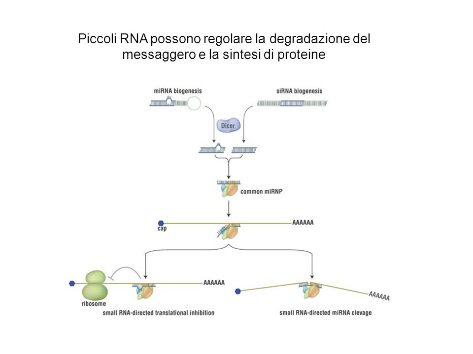 Piccoli RNA possono regolare la degradazione del messaggero e la sintesi di proteine