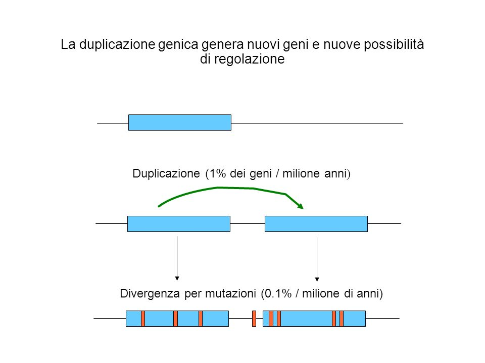 La duplicazione genica genera nuovi geni e nuove possibilità di regolazione