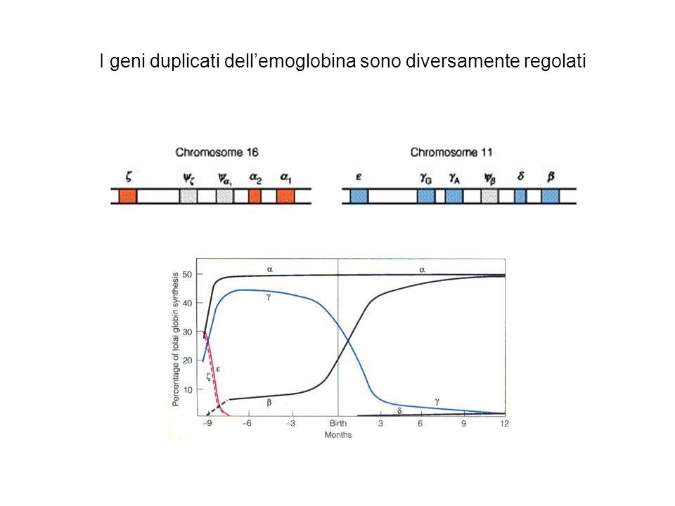 I geni duplicati dell'emoglobina sono diversamente regolati