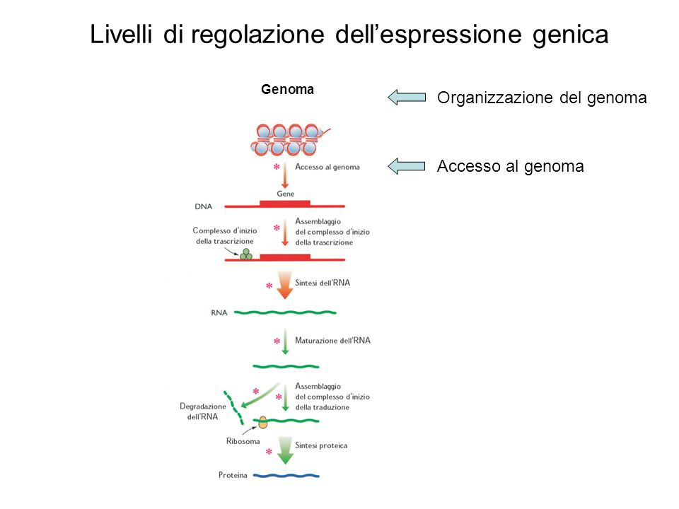 Livelli di regolazione dell'espressione genica