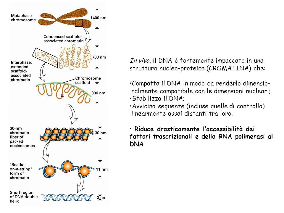 In vivo, il DNA è fortemente impaccato in una