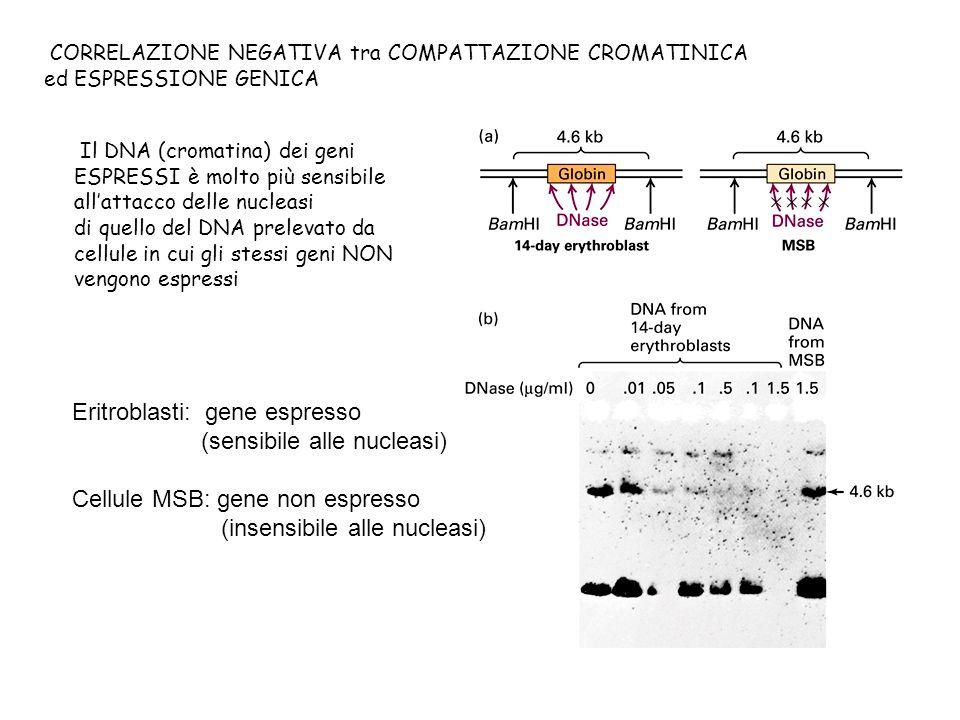 Eritroblasti: gene espresso (sensibile alle nucleasi)