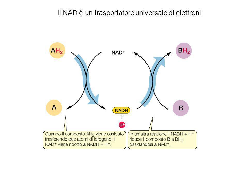 Il NAD è un trasportatore universale di elettroni