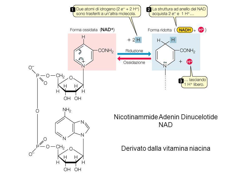 Nicotinammide Adenin Dinucelotide NAD
