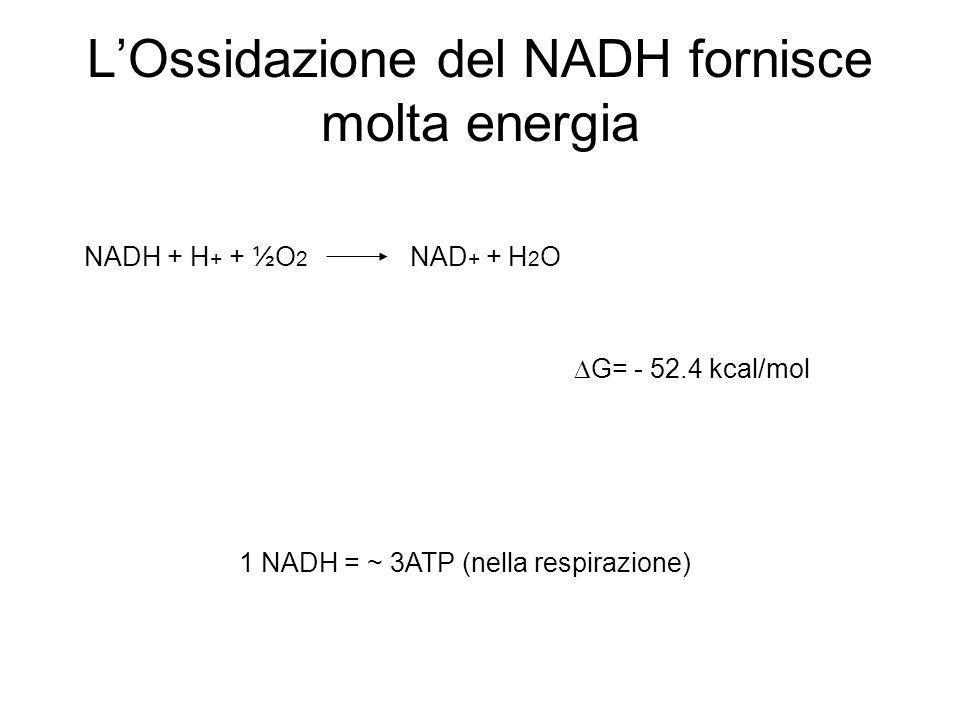 L'Ossidazione del NADH fornisce molta energia
