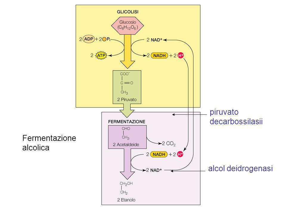piruvato decarbossilasii Fermentazione alcolica alcol deidrogenasi