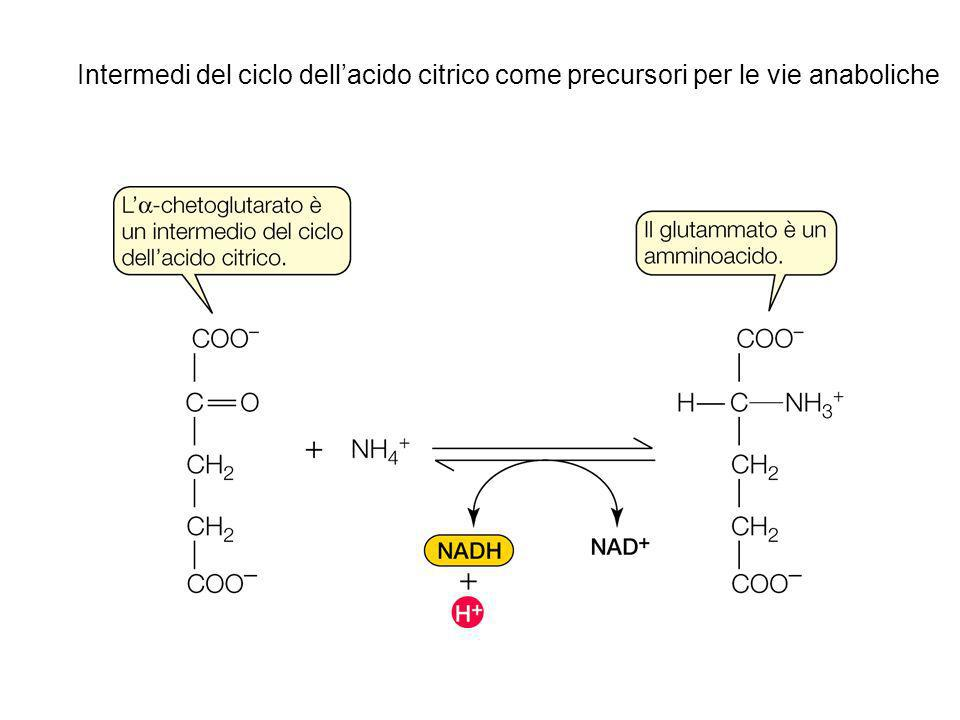 Intermedi del ciclo dell'acido citrico come precursori per le vie anaboliche