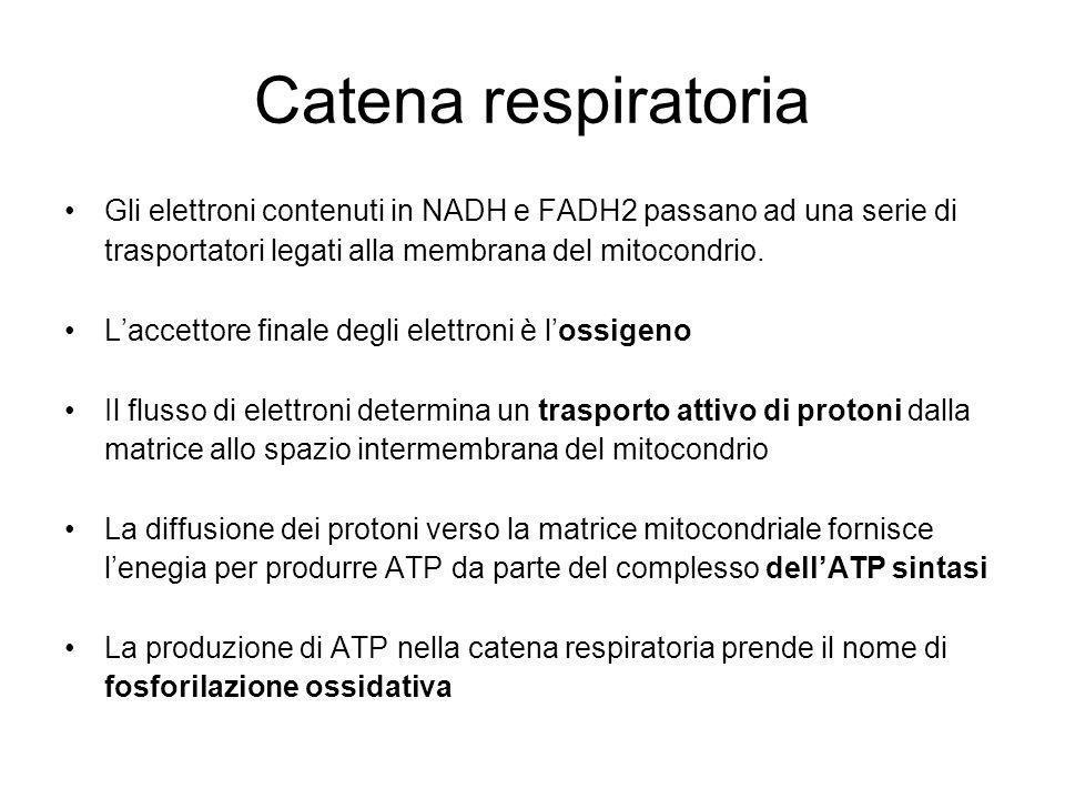 Catena respiratoria Gli elettroni contenuti in NADH e FADH2 passano ad una serie di trasportatori legati alla membrana del mitocondrio.