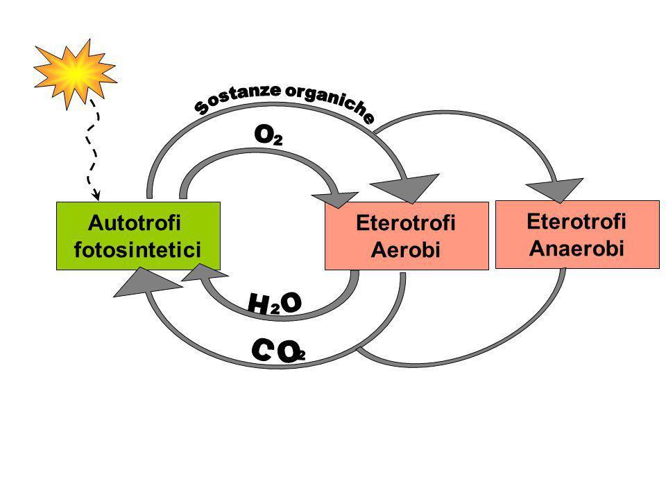 Autotrofi fotosintetici Eterotrofi Aerobi Eterotrofi Anaerobi