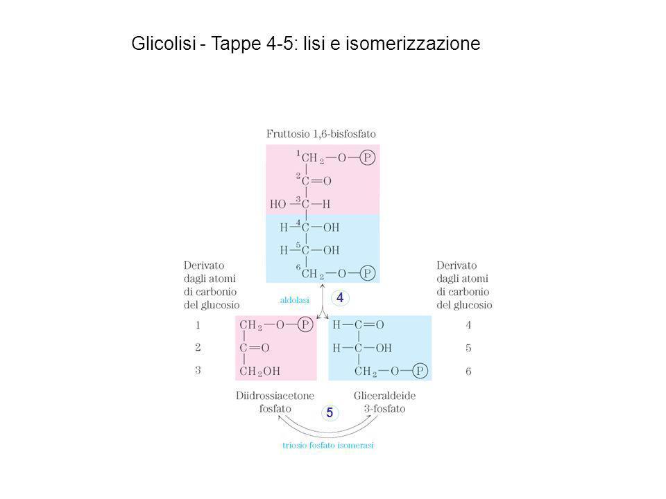 Glicolisi - Tappe 4-5: lisi e isomerizzazione