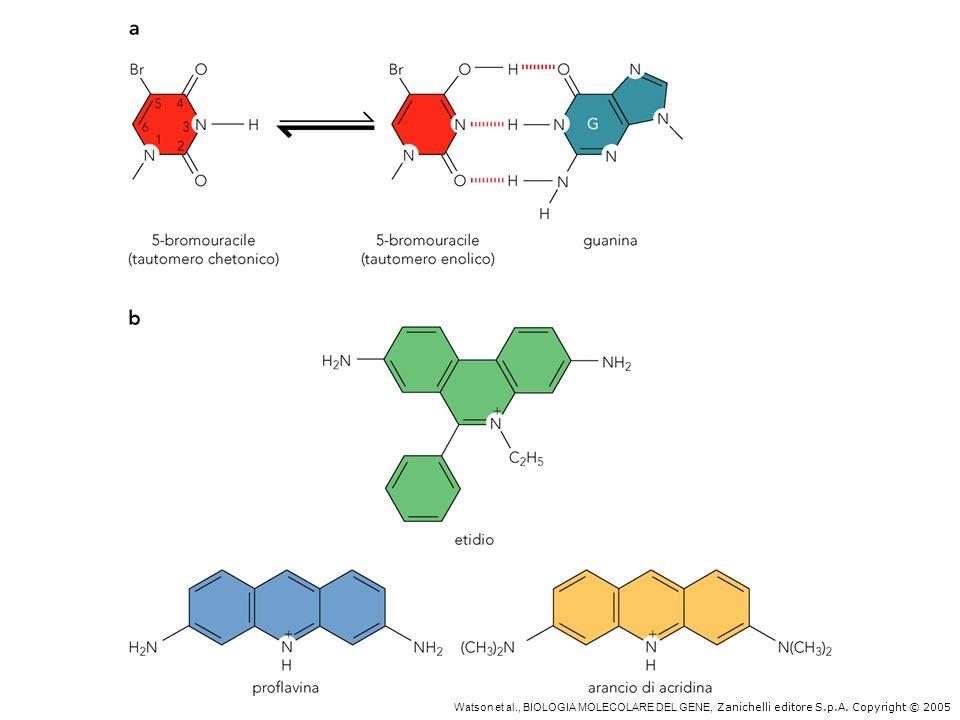 Mutazioni causate da analoghi delle basi ed agenti intercalanti