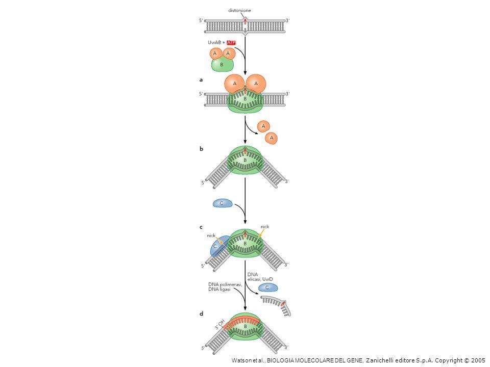 Sistema di riparo per escissione di nucleotidi