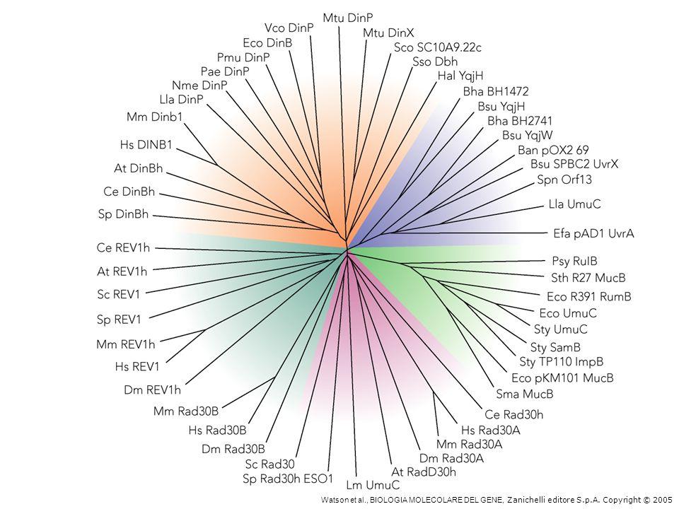 La famiglia Y delle DNA polimerasi