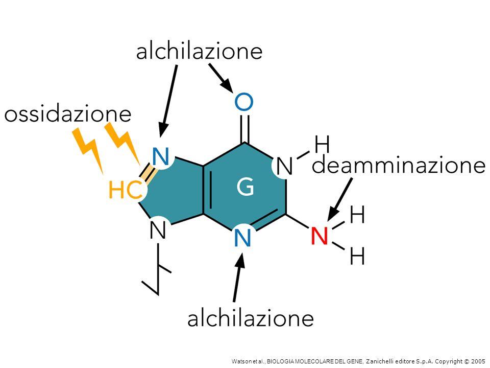 Alchilazioni, ossidazioni e radiazioni danneggiano il DNA