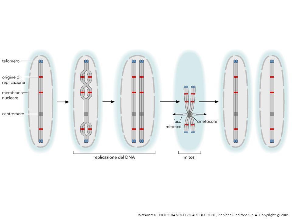 Centromeri, telomeri e origini di replicazione