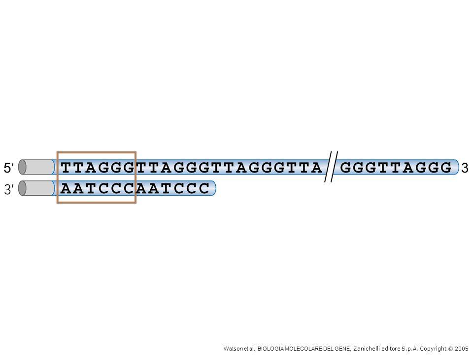 Struttura tipo di un telomero