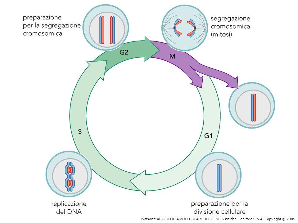 Ciclo mitotico delle cellule eucariotiche