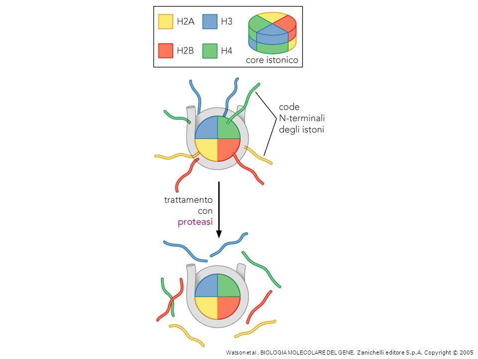 Accessibilità delle code N-terminali degli istoni core alle proteasi