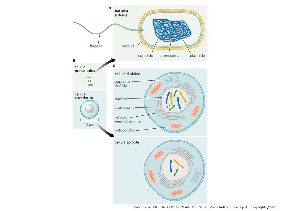 Confronto fra cellula eucariotica e procariotica