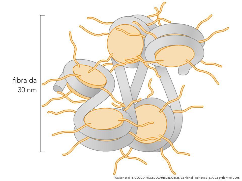 Le code degli istoni intervengono nella formazione della fibra 30 nm