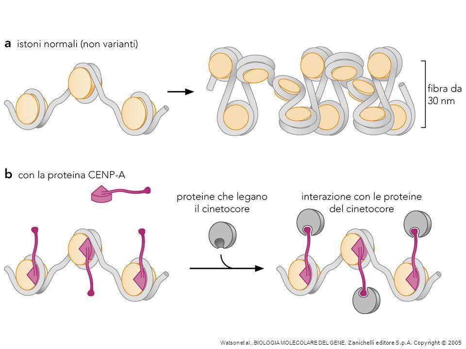 Alterazioni della struttura della cromatina indotte da modificazioni istoniche