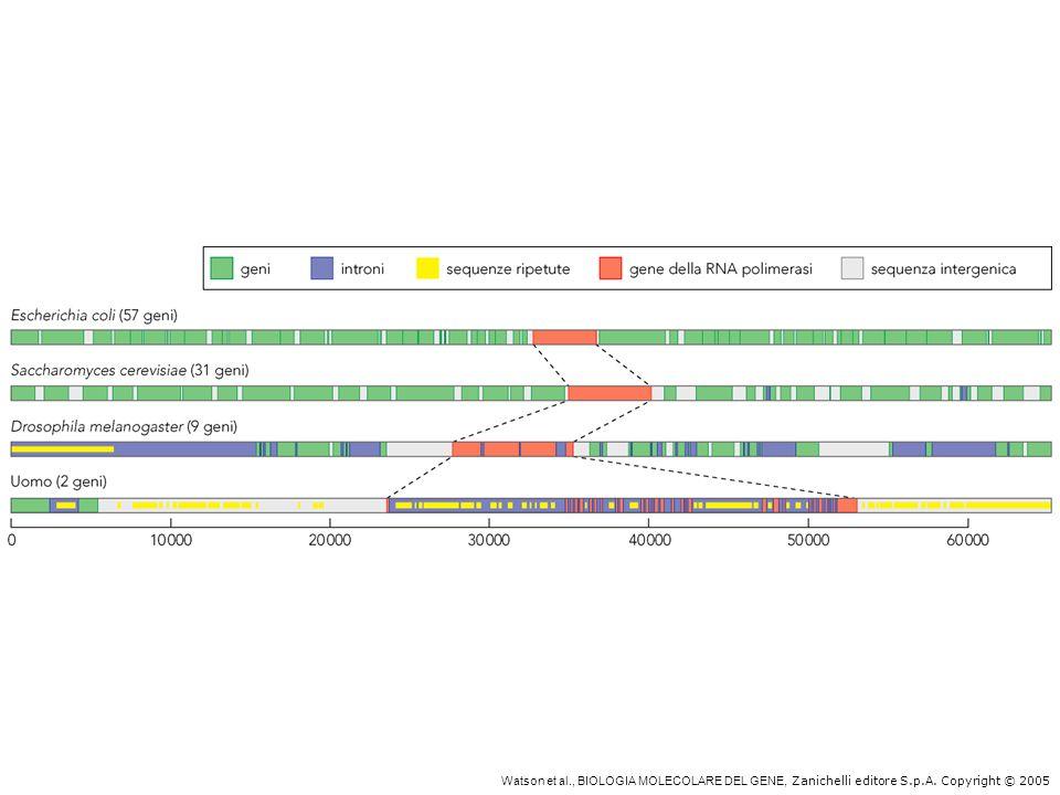 La densità genica diminuisce al crescere della complessità dell'organismo