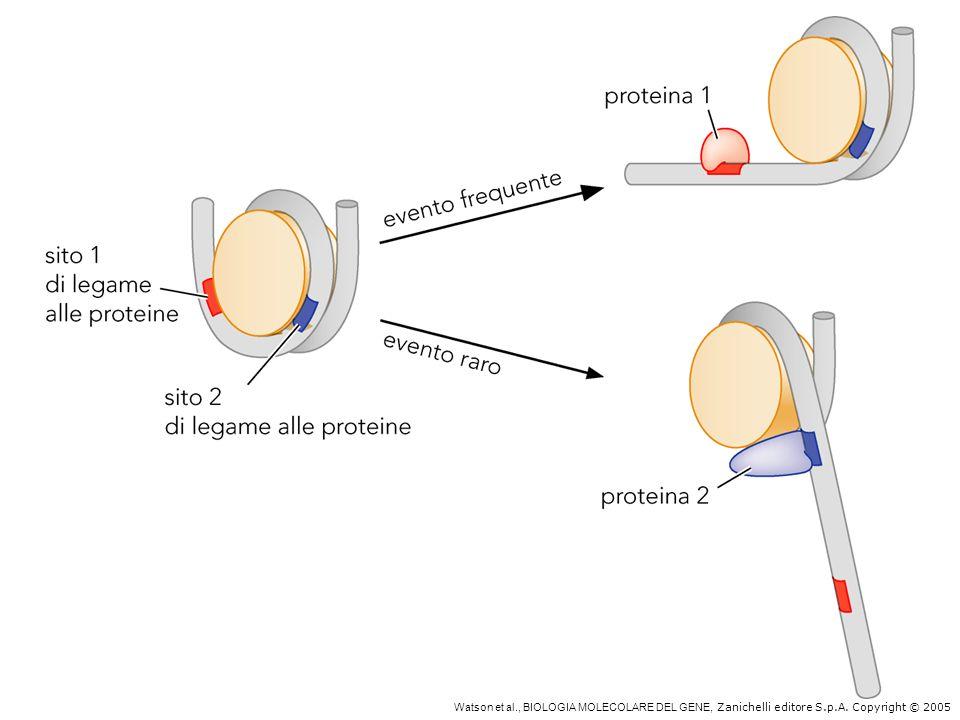 Natura dinamica dell'associazione DNA – istoni