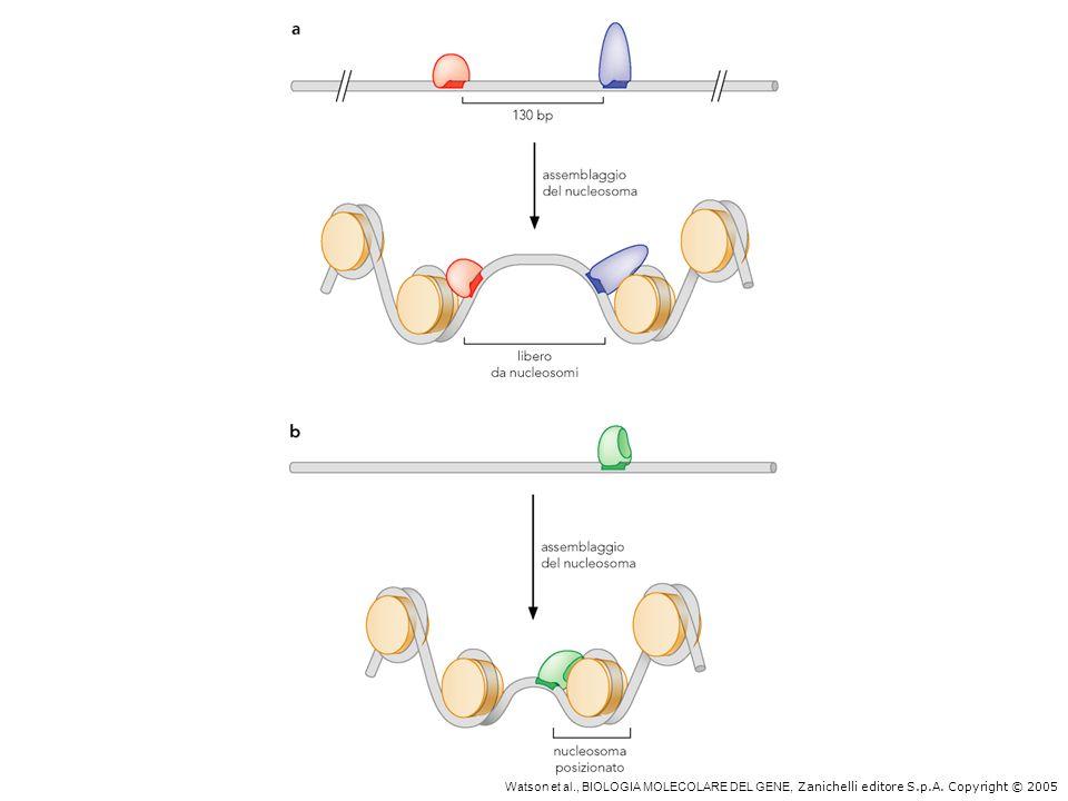 IL posizionamento dei nucleosomi può dipendere da proteine che legano il DNA