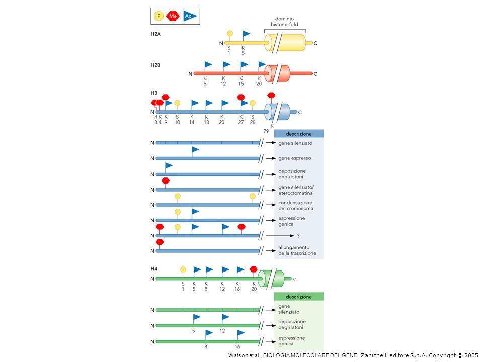 Modificazioni degl istoni alterano la funzione della cromatina