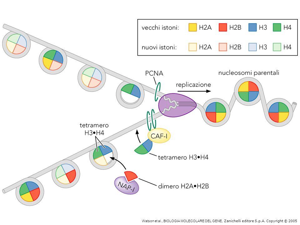Assemblaggio dei nucleosomi