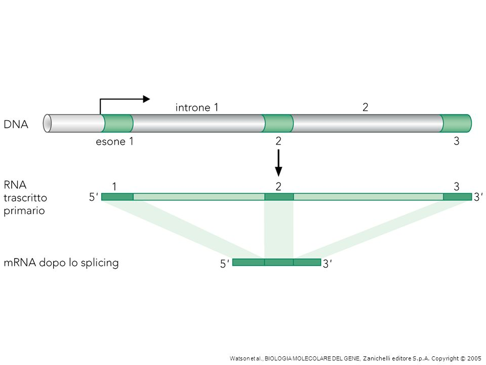 Splicing dell'RNA