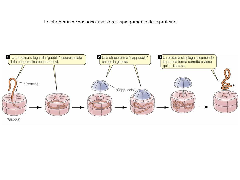 Le chaperonine possono assistere il ripiegamento delle proteine