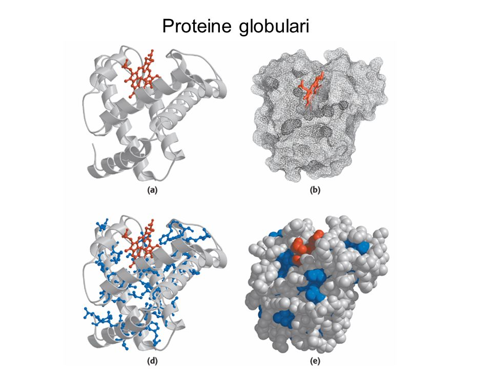 Proteine globulari Mioglobina di capodoglio. 153 residui aminoacidici