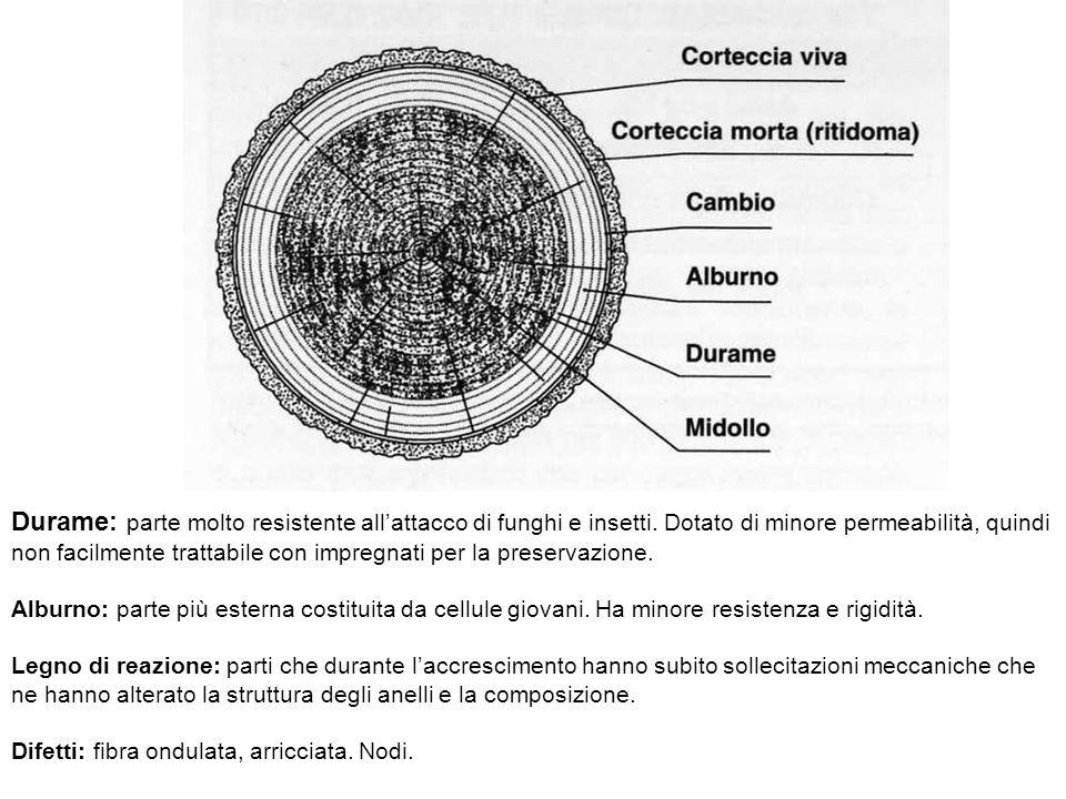 Durame: parte molto resistente all'attacco di funghi e insetti