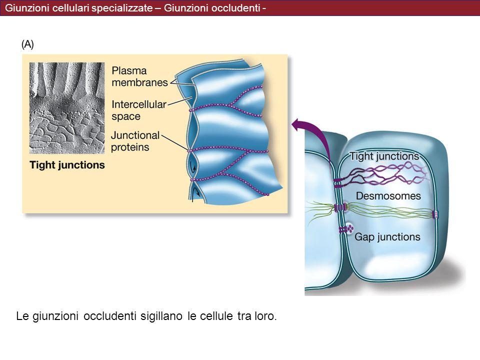 Le giunzioni occludenti sigillano le cellule tra loro.