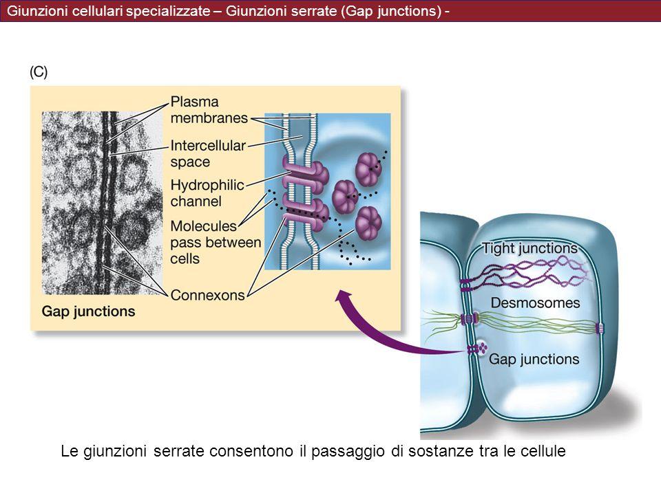 Giunzioni cellulari specializzate – Giunzioni serrate (Gap junctions) -