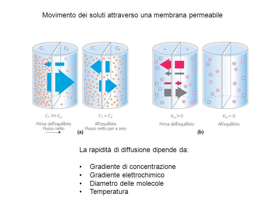 Movimento dei soluti attraverso una membrana permeabile