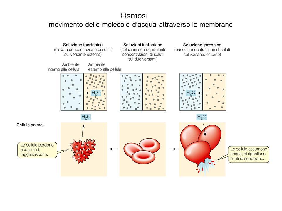 Osmosi movimento delle molecole d'acqua attraverso le membrane