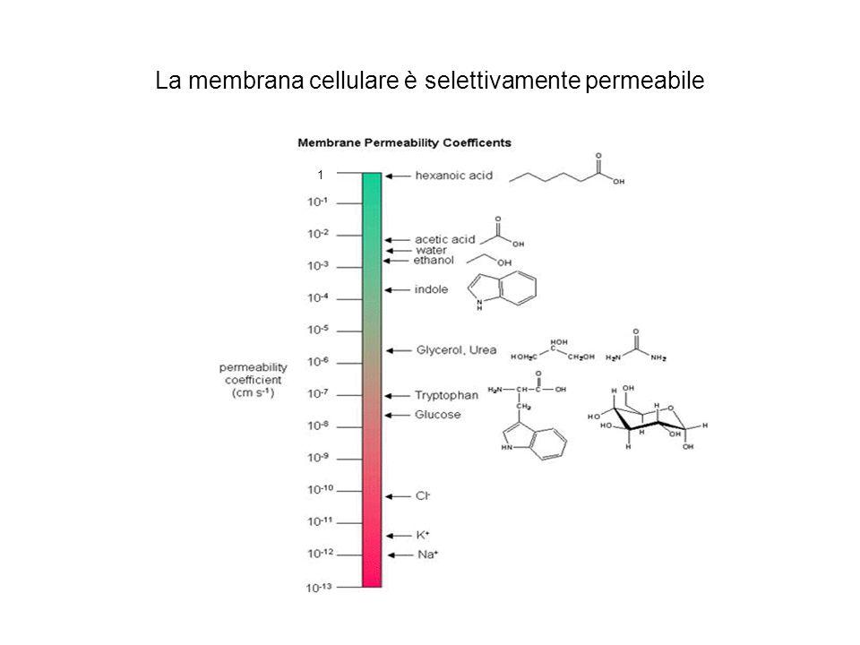 La membrana cellulare è selettivamente permeabile