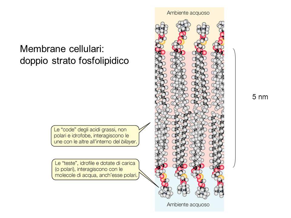doppio strato fosfolipidico