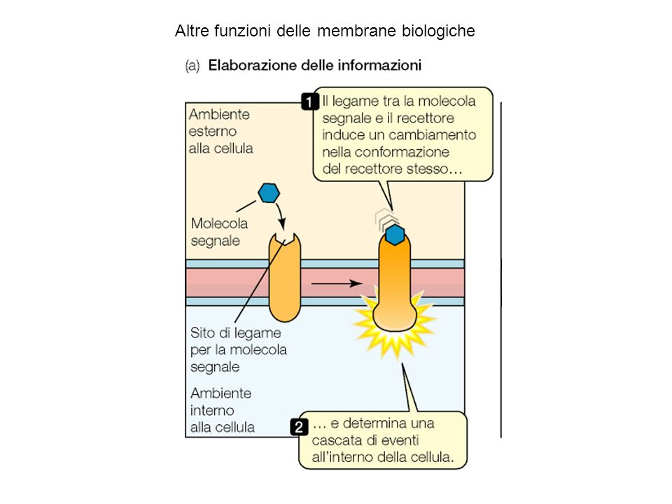 Altre funzioni delle membrane biologiche
