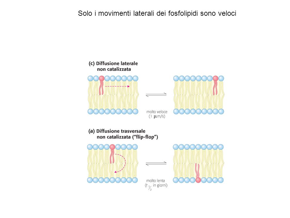 Solo i movimenti laterali dei fosfolipidi sono veloci
